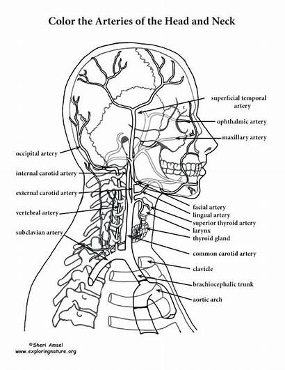 Anatomy Coloring Pages Head Neck Physiology Arteries