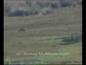 Tasmanian Tiger Sighting 2009 - YouTube