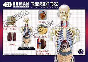 4d Puzzle Human Anatomy 3d Model Transparent Body Skeleton