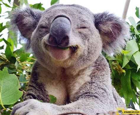 Happy Koala Bear Starecat Com