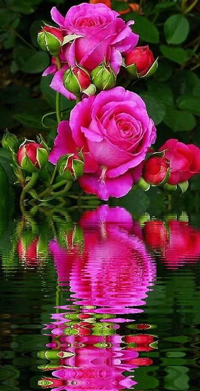 Roses Flowers Flower Animees Eau Reflet Pretty