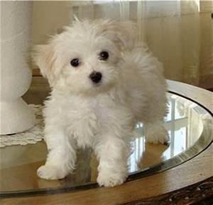 Cute Puppy Dogs: brown maltese puppy