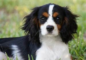 Cavalier King Charles Spaniel Puppies For Sale - Page 3 ...
