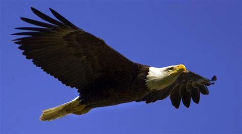 eagle deaths  wind turbines result  massive