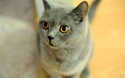 Shorthair British Cat Exotic Wallpapers Cats Quotes
