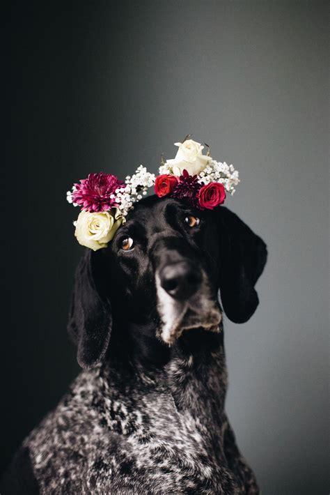 german shorthair pointer weraing  flower crown animals