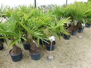 trachycarpus fortunei palmier rustique palmier chanvre