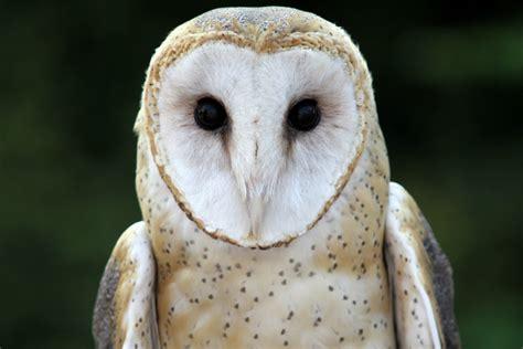 A Barn Owl In Inyoni Garden