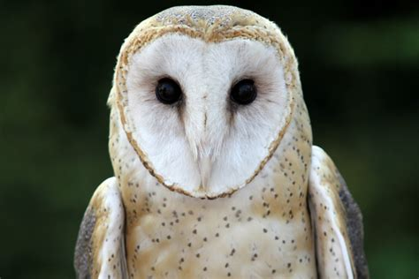 Obtaining A Barn Owl Tigerdroppingscom