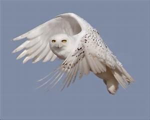 Piccalilli Pie: The Snowy Owl of Ballard