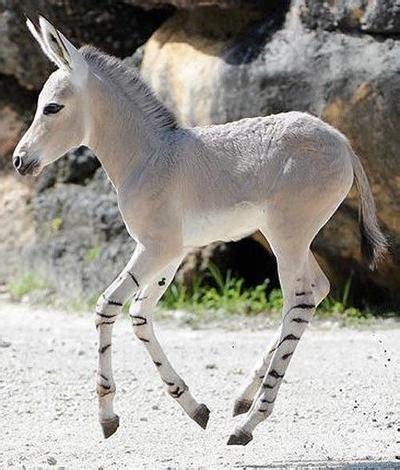 zonkey zebra  donkey mix  cute animals