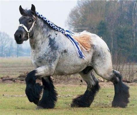draft horses horse breeds awesome belgian most brabant animals animal percheron popular guys stallion breed biggest belgium roan read binged