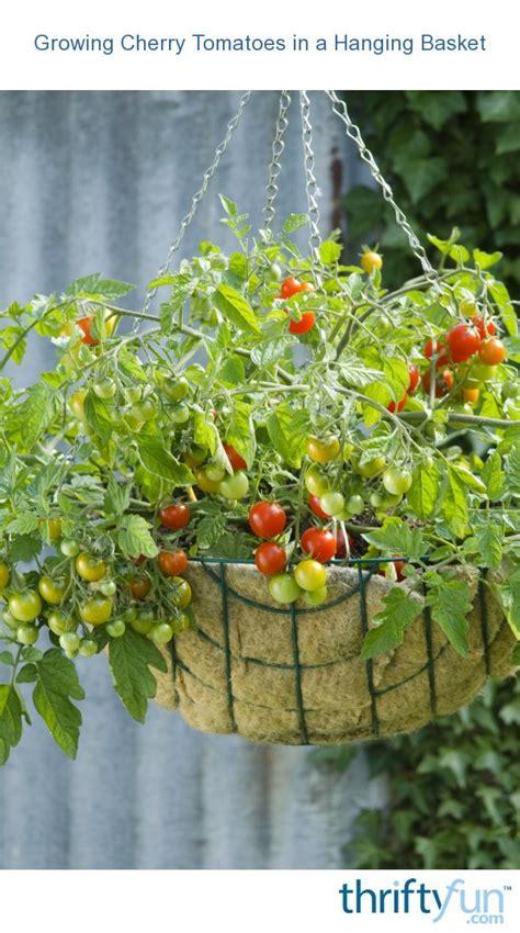 cherry tomatoes  hanging baskets thriftyfun