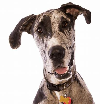 Dane Mix Puppies Lab Adoptapet