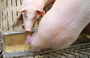 Pig Feed Middlemen Dislike Smithfield U2019s Farm