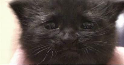 Mewing Kitten Kittyworks Cat