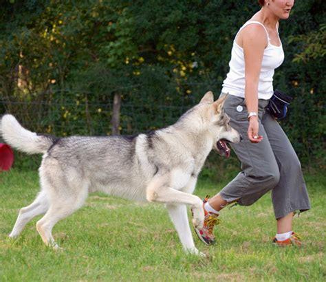 Wolfhunde  Die Neuen Supergebrauchsrassen? Hundemagazin