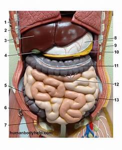 Torso Digestive Superficial  U2013 Human Body Help