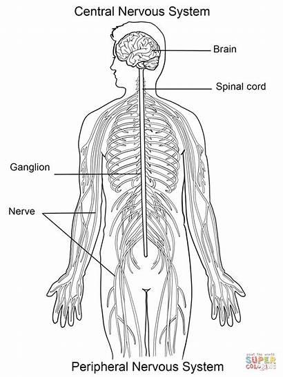 Nervous System Coloring Pages Worksheet Printable Diagram