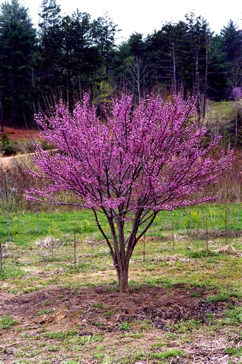 ace of hearts redbud cercis ace of hearts planthaven international