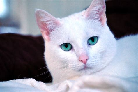 white cats blue eyes  gallery  flickr