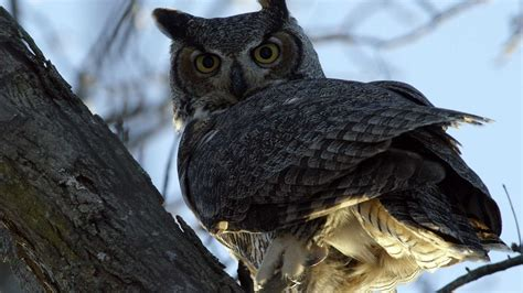 The Secret Life Of Great Horned Owls