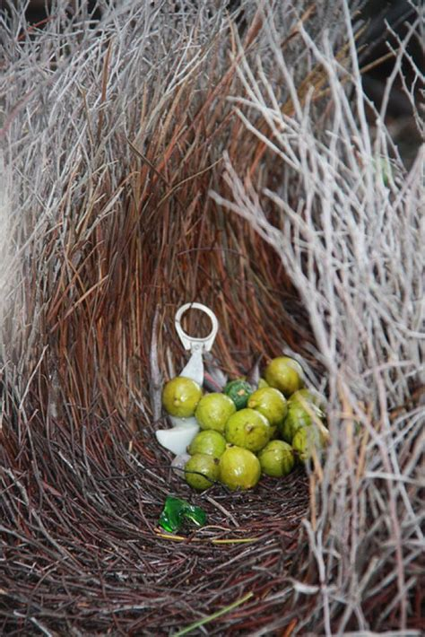 bird decorates nest a bower bird s nest decorated with gooseberries and aluminum can tabs nests pinterest nest