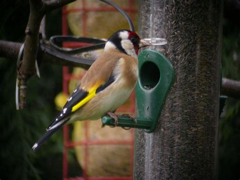 goldfinch facts goldfinch information twootzcom
