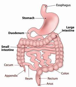 How Your Gastrointestinal Tract Works - MU Health Care