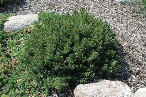 valley cushion mugo pine pinus mugo valley cushion