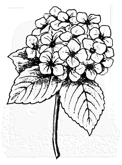 hydrangea flowers drawing sketch coloring page
