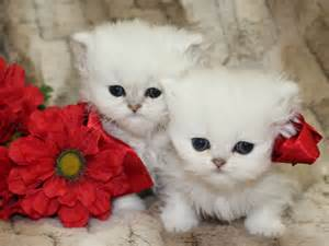 teacup cats for teacup kittens for 1 catscreation