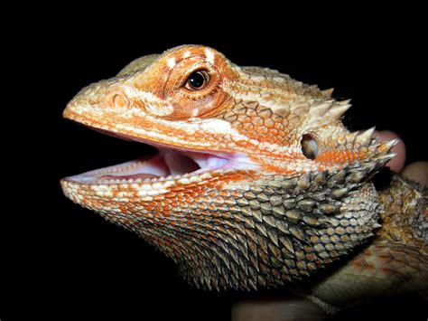 file pogona vitticeps head 04 jpg wikimedia commons