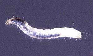 Cat Fleas, Biter of Cats, Dogs and People | WayCoolDogs.com