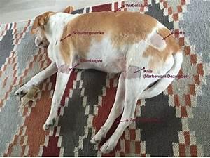 goldimplantate hund