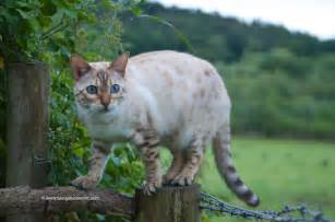 snow bengal cat bengal cat facts bengal cat world