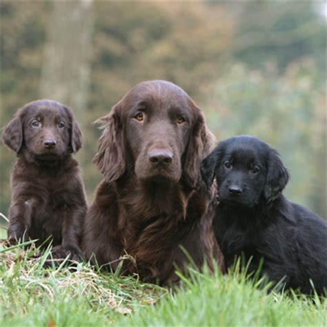 Flat Coated Retriever Molting by Flat Coated Retriever Sims United Retriever Club