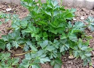 Culture Celeri Branche : r ussir la culture du c leri branche potager jardin potager jardin ~ Melissatoandfro.com Idées de Décoration