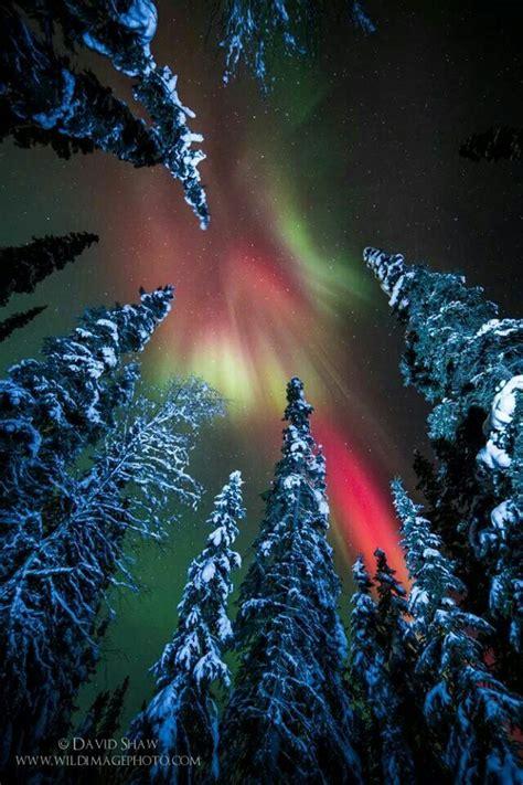 snowy alaskan cluster light tree snowy forest and near fairbanks alaska by