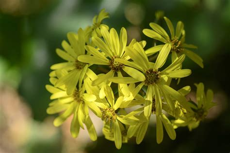 Farfugium Leopard Plant Info: How To Care For Leopard ...