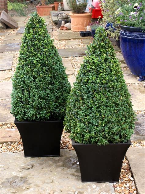 pictures of small palm trees pair of buxus sempervirens cones large topiary buy