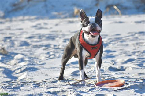 Stud Dog - Show Quality Boston Terrier for Stud - Breed ...