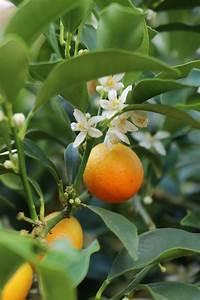Dünger Für Zitronenbaum : amalfi zitronenbaum kaufen schonender versand an die haust r ~ Watch28wear.com Haus und Dekorationen