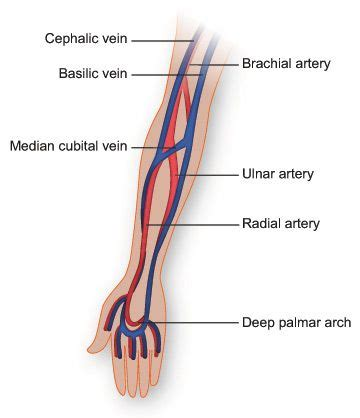 Diagram Of Arm Vessel by Vasculature Of The Arm Anatomy Diagram By