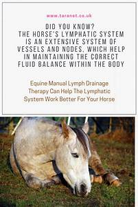 Equine Manual Lymph Drainage Therapy Can Be Helpful For