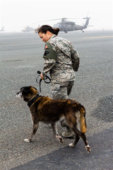 adopt  retired police  military dog simplemost