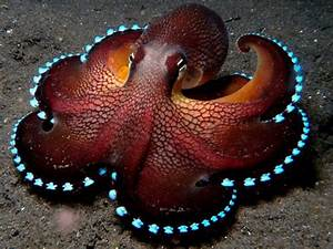 Bioluminescent Octopus - The Meta Picture