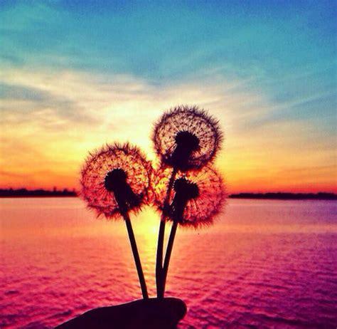 dandelion sunset pictures   images  facebook