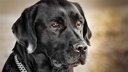 Labrador Retriever Allwallpaper