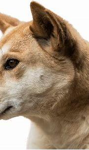 Dingo | National Zoo & Aquarium